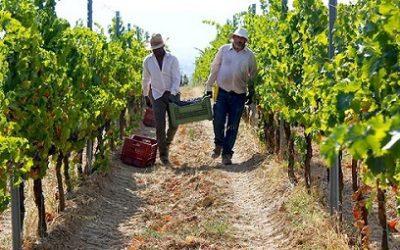 Vendemmia, in Veneto qualità ottima e minor produzione. Bene l'export di vino. Dal 20 agosto s'inizia a vendemmiare, mentre la Sicilia è già al lavoro