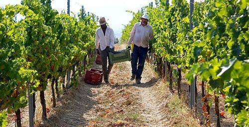 Vendemmia 2018: bene la produzione (+16%). Sette bottiglie su 10 sono Doc. Salgono consumi interni ed export di vino (+4%)