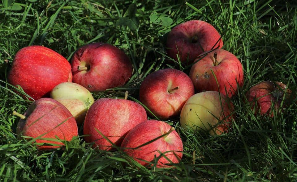 """Festa della mela di Zevio: al centro civico culturale la Mostra """"Attrezzi Agricoli e Mela"""""""