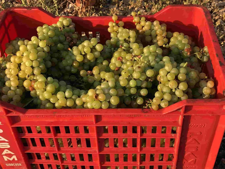 vini di sicilia la vendemmia delle uve moscato